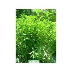 Λουσίντουμ (Viburnum Lucidum)