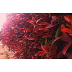 ΦΩΤΙΝΙΑ (Photinia Fraseri Red Robin)